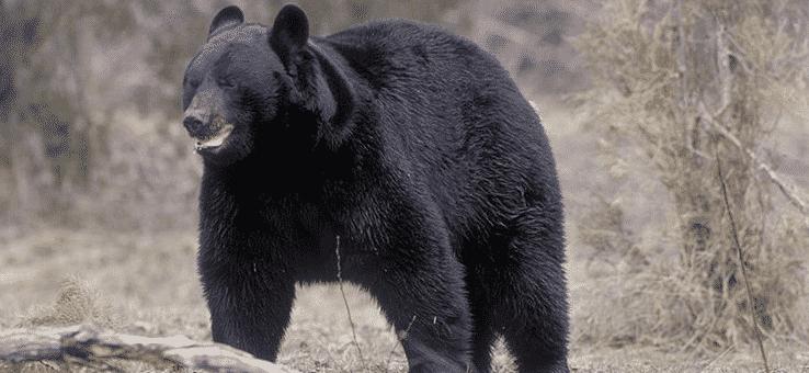anabolizantes y oso negro
