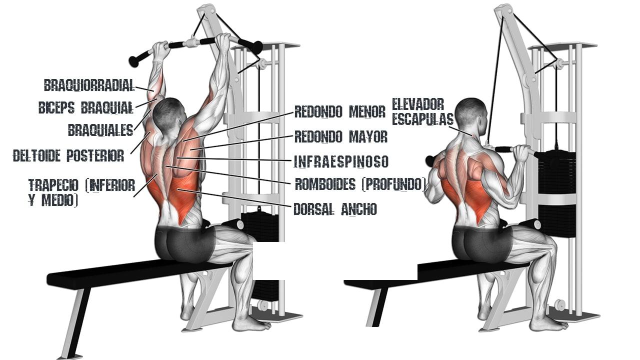 musculatura del jalon al pecho